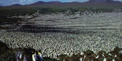 I pinguini reali sono probabilmente molti meno di quanto pensassimo