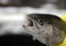 La Cina ha deciso che la trota salmonata è un salmone
