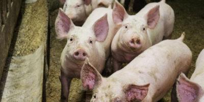Un video sui maltrattamenti subiti dai maiali in un allevamento di Senigallia ha portato a un'operazione dei Carabinieri