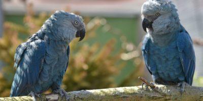 """Il pappagallo del film """"Rio"""" si è estinto in natura"""