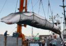 Il Giappone riprenderà la caccia commerciale alle balene il giorno dopo essere uscito dalla International Whaling Commission