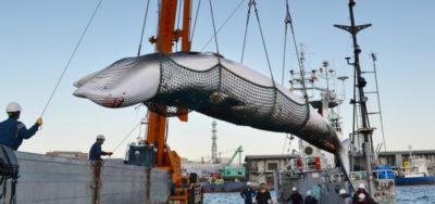 Il Giappone proprio non vuole rinunciare a cacciare le balene