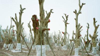 Le migrazioni degli alberi in Cina