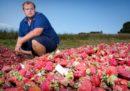 Anche in Nuova Zelanda, come in Australia, sono state trovate delle fragole con gli aghi dentro