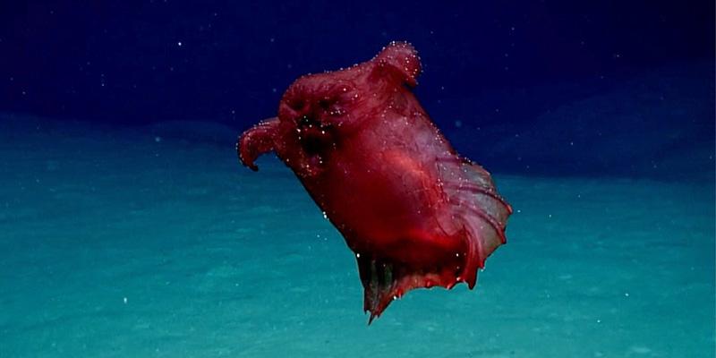 Il 'mostro pollo senza testa' che nuota negli abissi australiani