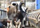 C'è un caso di mucca pazza in Scozia