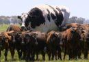 Oggi internet ha scoperto una mucca gigante