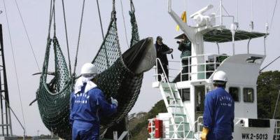 Il Giappone ricomincerà a cacciare le balene