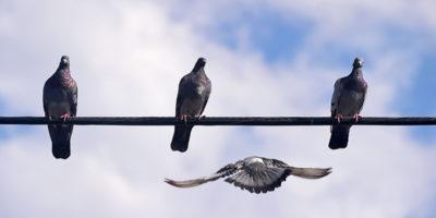 La città che vuole cacciare cinquemila piccioni