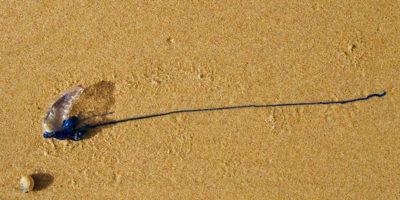 C'è un problemone di meduse in Australia
