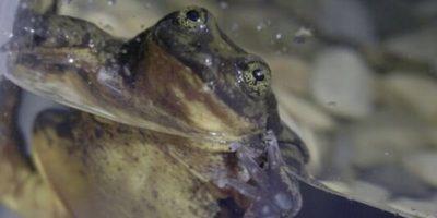 Forse questa rana riuscirà ad accoppiarsi grazie a un sito di incontri