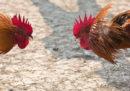 182 persone sono state arrestate in Spagna per un giro illegale di combattimenti di galli