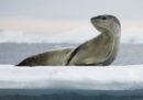 In Nuova Zelanda vogliono sapere di chi è questa chiavetta USB trovata nella cacca congelata di una foca