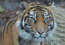 La brutta fine di una rara tigre allo zoo di Londra