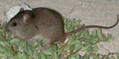 L'Australia ha dichiarato una specie di ratto estinta a causa del cambiamento climatico