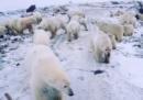 Decine di orsi polari hanno invaso una piccola cittadina russa della regione Artica