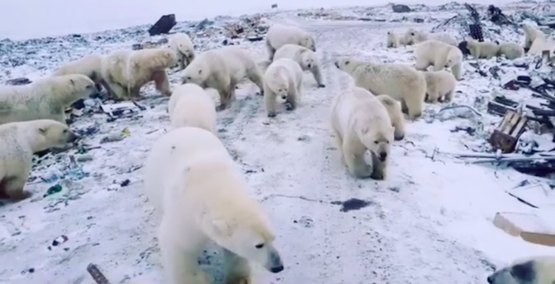 Decine di orsi polari hanno invaso una piccola cittadina russa della regione Artica - Il Post