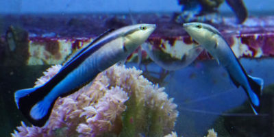 Questi pesci si riconoscono allo specchio?