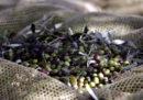 Il mercato dell'olio d'oliva italiano è sempre in subbuglio