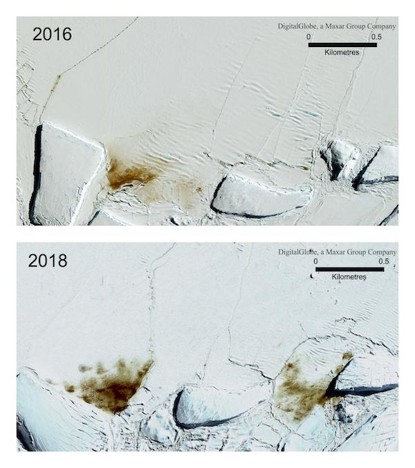 Vasto strato di ghiaccio affonda in Antartide: morti migliaia di pinguini imperatore