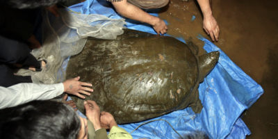 È morto uno dei 4 esemplari rimasti di tartarughe Rafetus swinhoei, una specie originaria di Cina e Vietnam