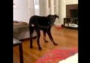 Cosa succede quando un cane riesce infine a mordersi la coda?