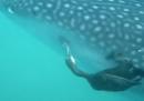 Il video di un cormorano che mangia un pesce attaccato alla pancia di uno squalo balena