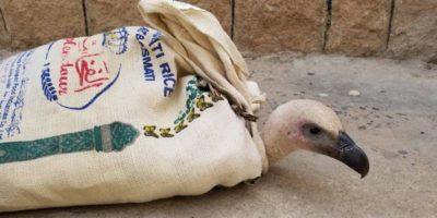 La storia di un grifone bulgaro finito in mezzo alla guerra in Yemen