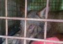 Nella Darsena di Milano è stato ritrovato e soccorso un lupo