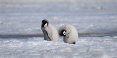 La seconda più grande colonia di pinguini imperatori non esiste più