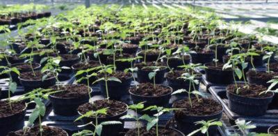 """La Cassazione ha proibito la """"cannabis light"""""""