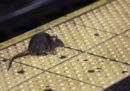 """""""I ratti si stanno prendendo New York"""""""