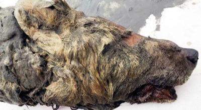 Questa testa di lupo ha almeno 30mila anni