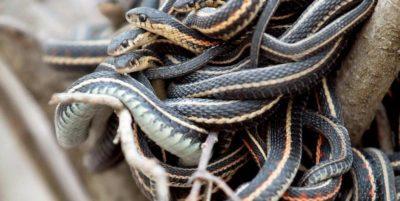 Se non vi piacciono i serpenti, non andate a Narcisse