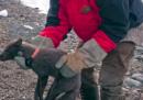 Una volpe artica ha percorso 3.500 chilometri dalle Svalbard al Canada