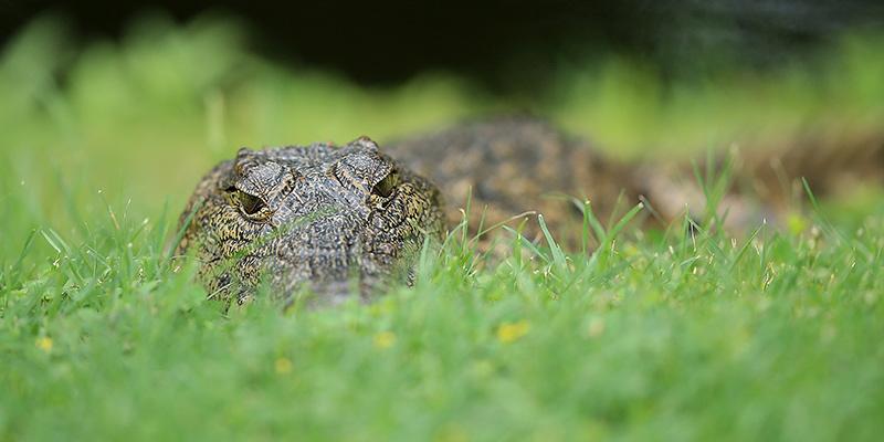 la dieta del coccodrillo