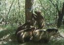 La Corte Costituzionale ha respinto i ricorsi del governo contro le leggi sulla cattura e sull'uccisione di orsi e lupi delle province di Trento e Bolzano
