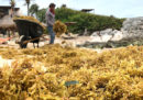 L'enorme massa di alghe che attraversa l'Atlantico