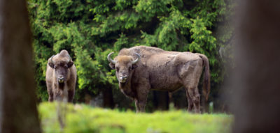 Il più grande animale selvatico terrestre in Europa