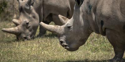 7 ovuli delle ultime due femmine di rinoceronte bianco settentrionale sono stati fertilizzati con successo