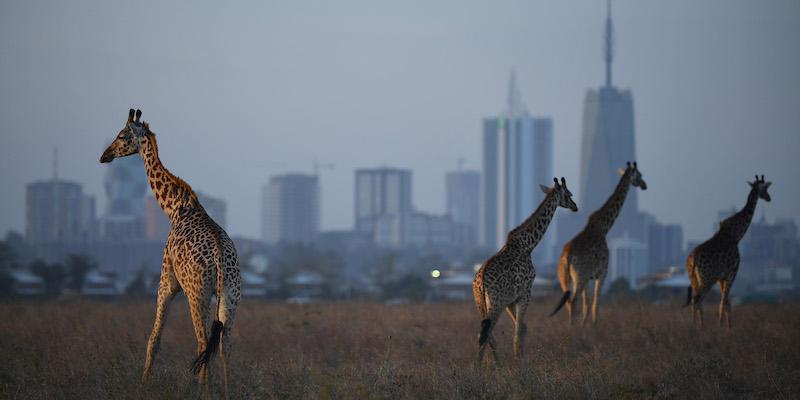 Cosa si sta facendo per evitare l'estinzione delle giraffe