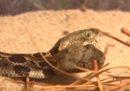Negli Stati Uniti hanno trovato un raro serpente con due teste
