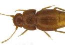 Uno scienziato ha dedicato il nome di questo piccolo insetto a Greta Thunberg