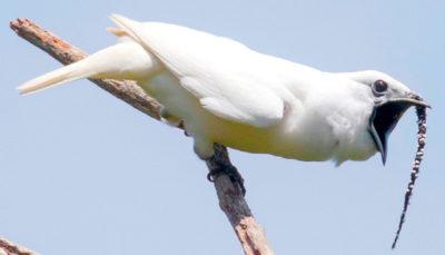 L'uccello più rumoroso del mondo