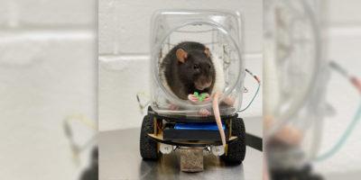 La ricerca che ha insegnato a guidare ai ratti