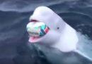 A questo beluga piace il rugby