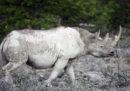 Vendere corni di rinoceronte finti può salvare i rinoceronti?