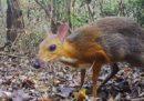 Il tragulo dal dorso argentato è stato avvistato in Vietnam dopo 30 anni
