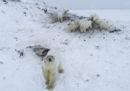 C'è un'altra città russa invasa dagli orsi polari