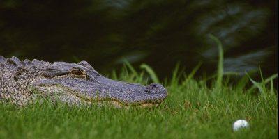 I coccodrilli possono andare al galoppo